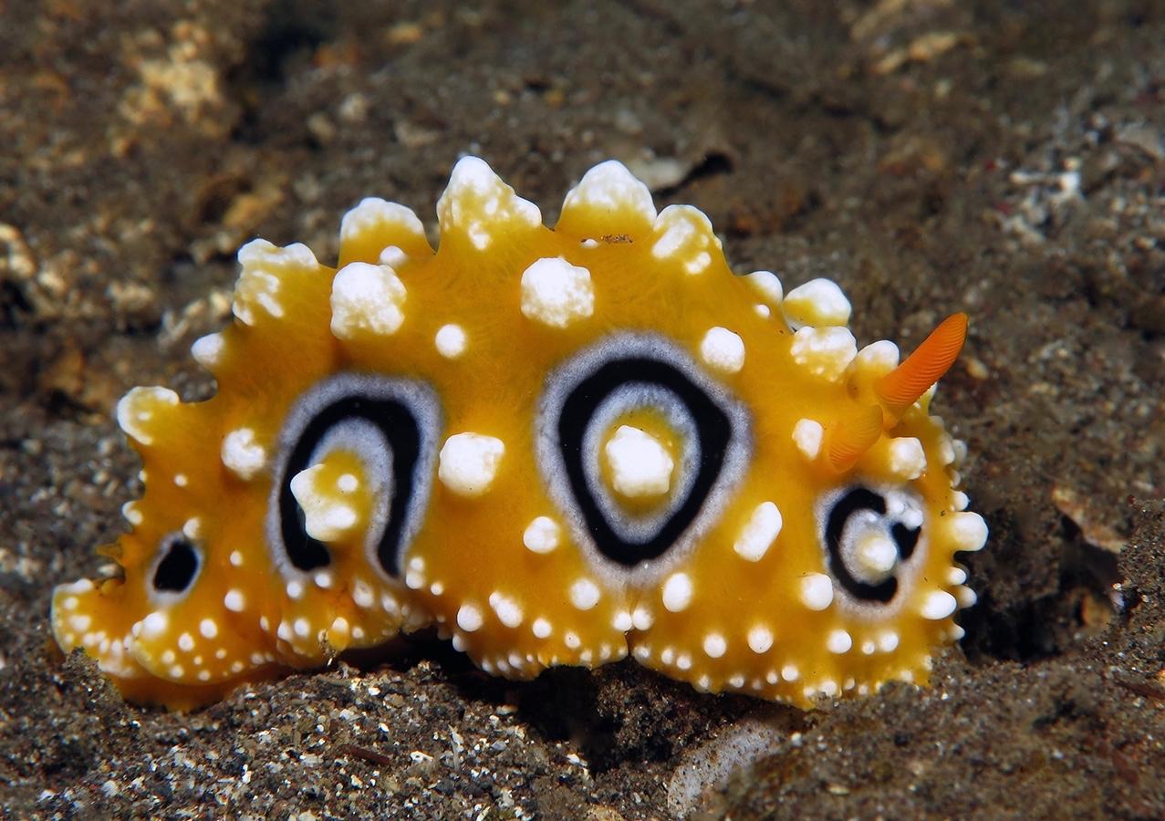 Phyllidia ocellata    , 巴厘岛艾湄湾 Amed Bay 印度尼西亚 Indonesia @lazydiving.com 潜水时光