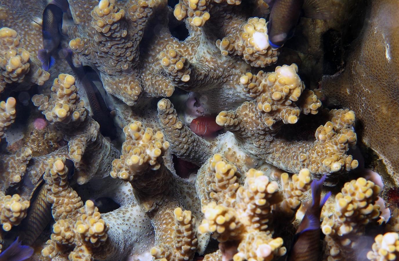 Acropora samoensis    , 安汶 Ambon 印度尼西亚 Indonesia @lazydiving.com 潜水时光