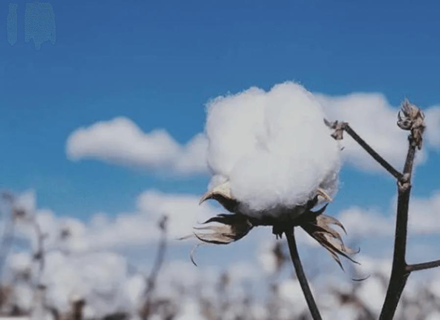 新疆棉花 中國自己還不够用